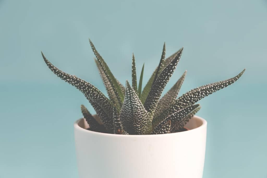 ハオルチアという美しく可愛い多肉植物を知ってますか?