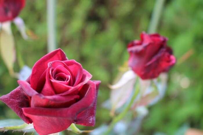 薔薇という花とは