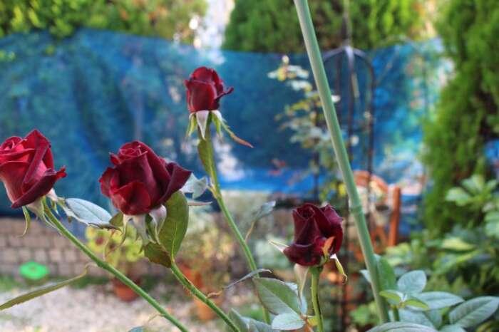 薔薇の色々な特徴
