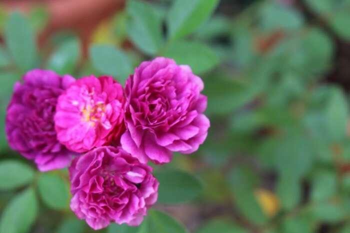 薔薇についてのまとめ
