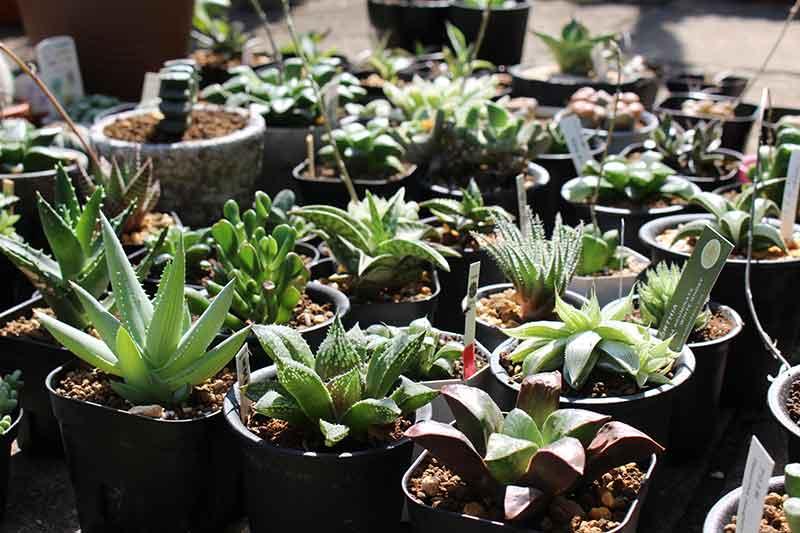 多肉植物の中で輝く存在、ハオルチアの魅力を自己満足で語ってしまおう。