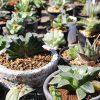 ハオルチアという美しく可愛い多肉植物を知ってますか?【種類】
