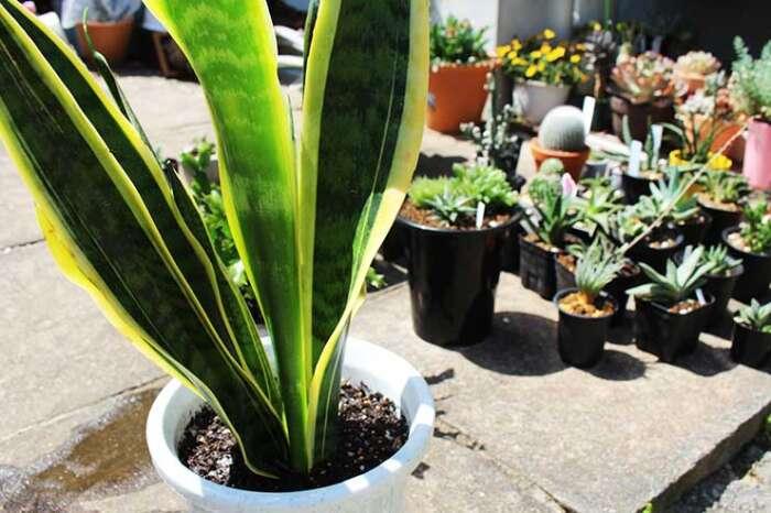 サンセベリアの育て方【植物初心者におすすめ!置き場所・水あげ・肥料など】まとめ