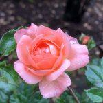 バラを育てるのに必要な道具リスト【初心者でもこれで完璧!】