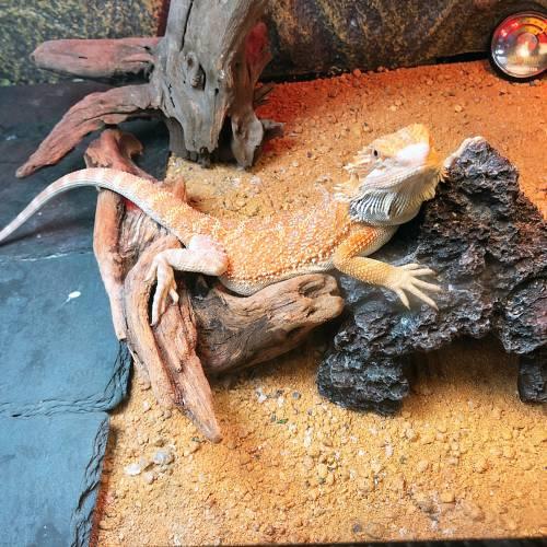 3ヶ月のフトアゴヒゲトカゲ