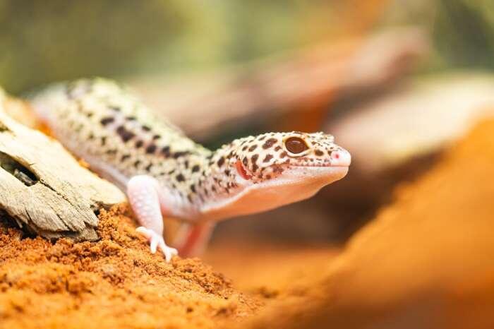 我が家の爬虫類(フトアゴヒゲトカゲ ・ヒョウモントカゲモドキ)達の冬仕度