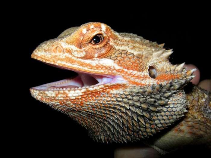 動物アレルギーでもペットを飼いたいと思う人に爬虫類(トカゲ)をおすすめします