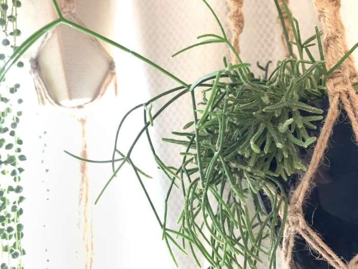 リプサリスの育て方・購入方法【着生サボテン、リプサリスを育てよう】