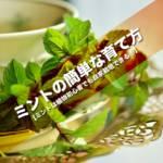 ミントの簡単な育て方【ミントは植物初心者でも自家栽培できる!】