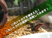 ニホントカゲを捕まえた!ニホントカゲの飼育に挑戦してみます!