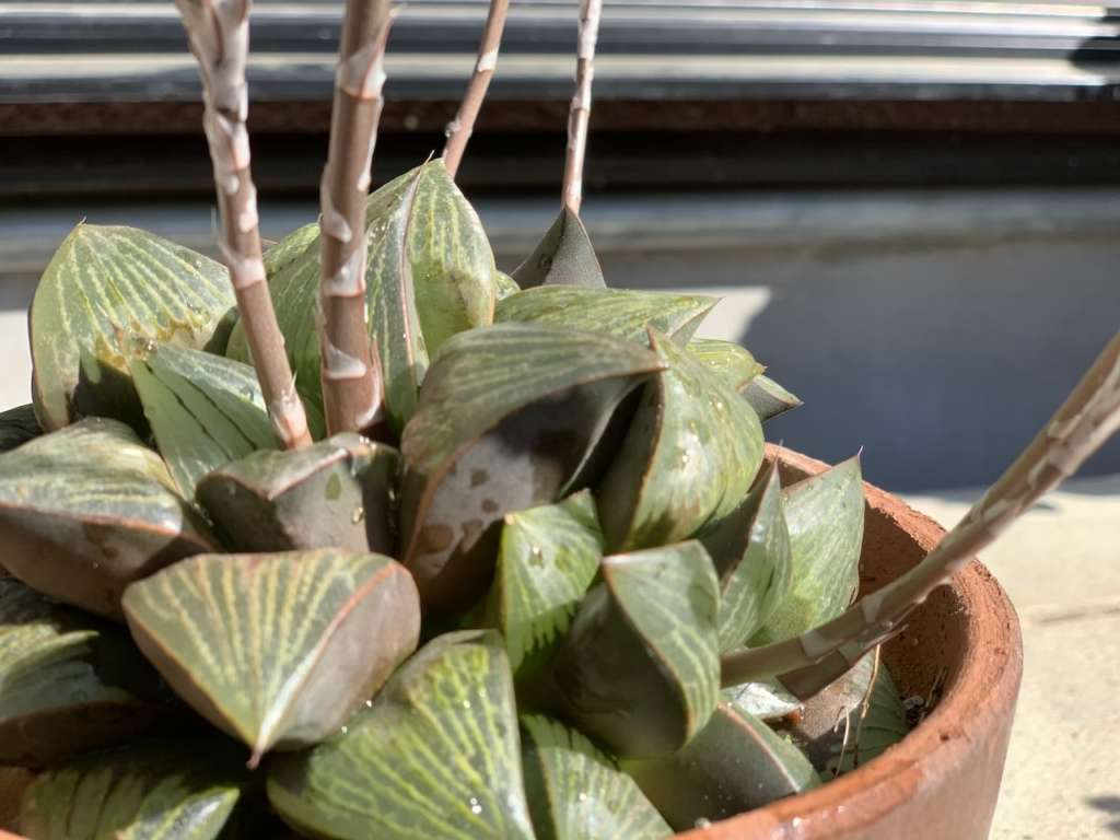 ハオルチア(多肉植物)、病気のまとめ