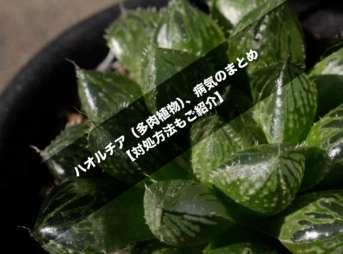 ハオルチア(多肉植物)、病気のまとめ【対処方法もご紹介】