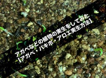 アガベなどの植物の実生をしてみた【アガベ・パキポ・アロエ実生方法】