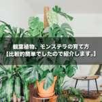 観葉植物、モンステラの育て方【比較的簡単でしたので紹介します。】