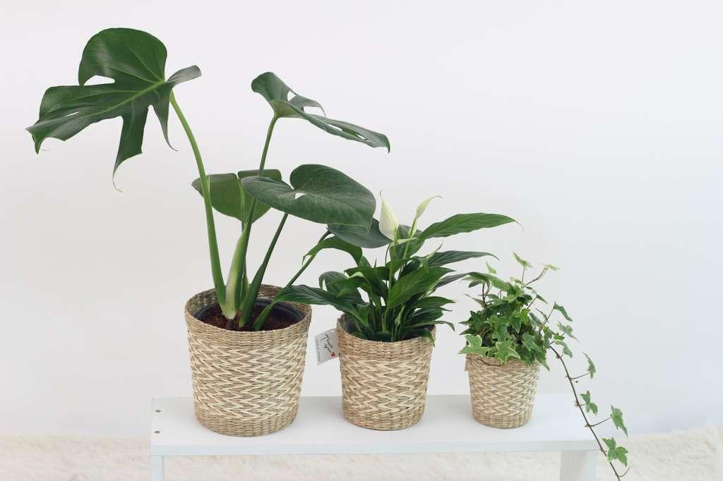 観葉植物、モンステラの育て方【まとめ】